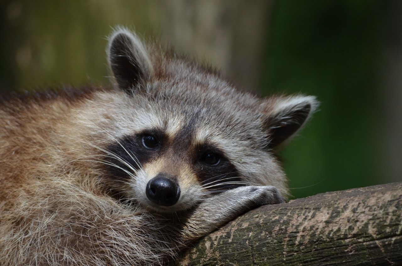 From Mid March To Late May Female Raccoons Are Looking For Nesting Places They Love Dark Quiet Corners In Attics Ba Animals Wild Animals Animal Photography