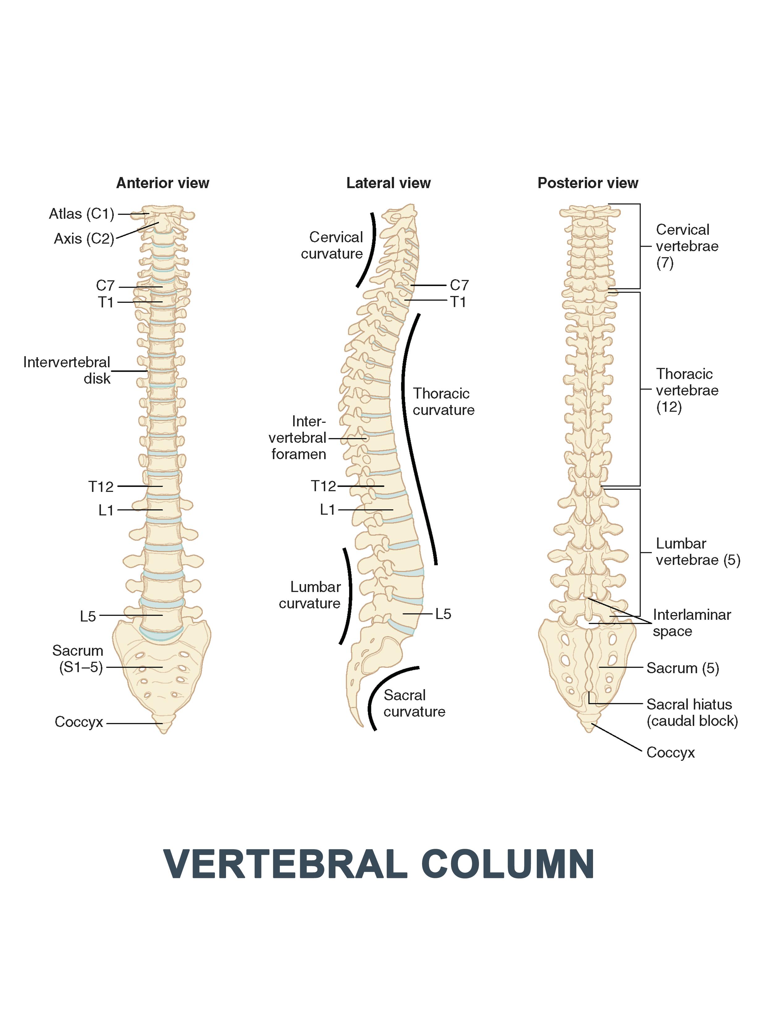 Vertebral Column - #anatomy images illustrations #anatomy images ...