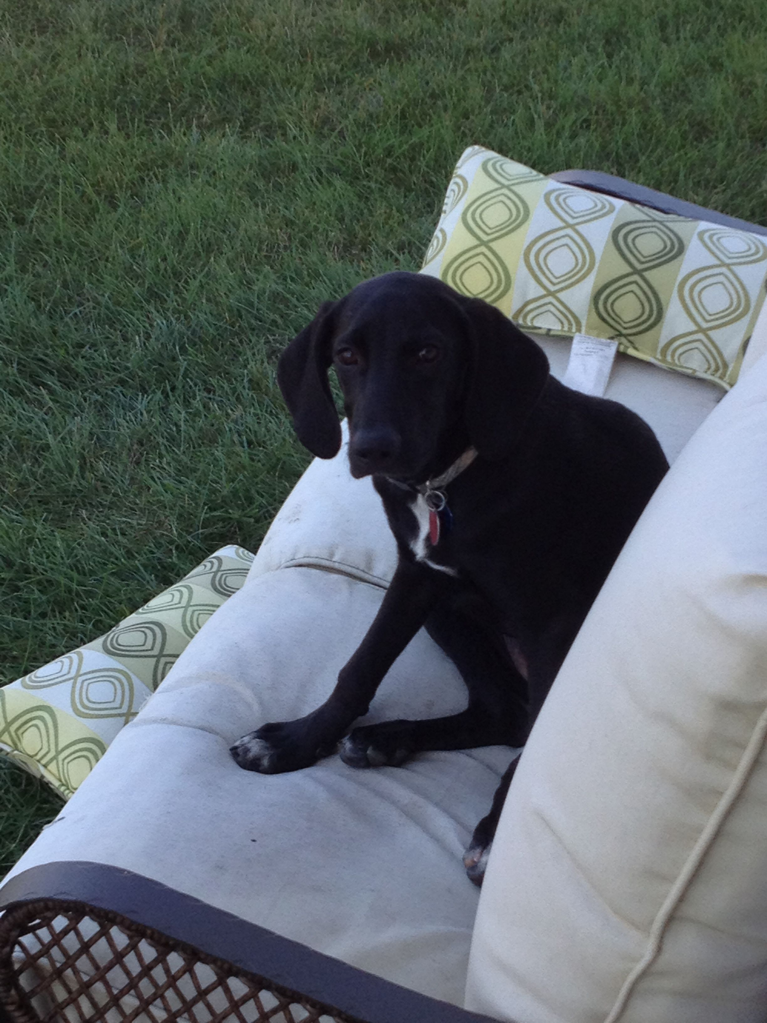 Bella a 45 month old female black lab mix puppy is