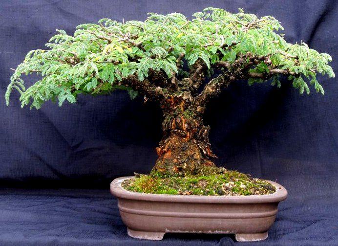 Acacia Galpinii Bonsai | Wee Trees | Pinterest | Bonsai ...