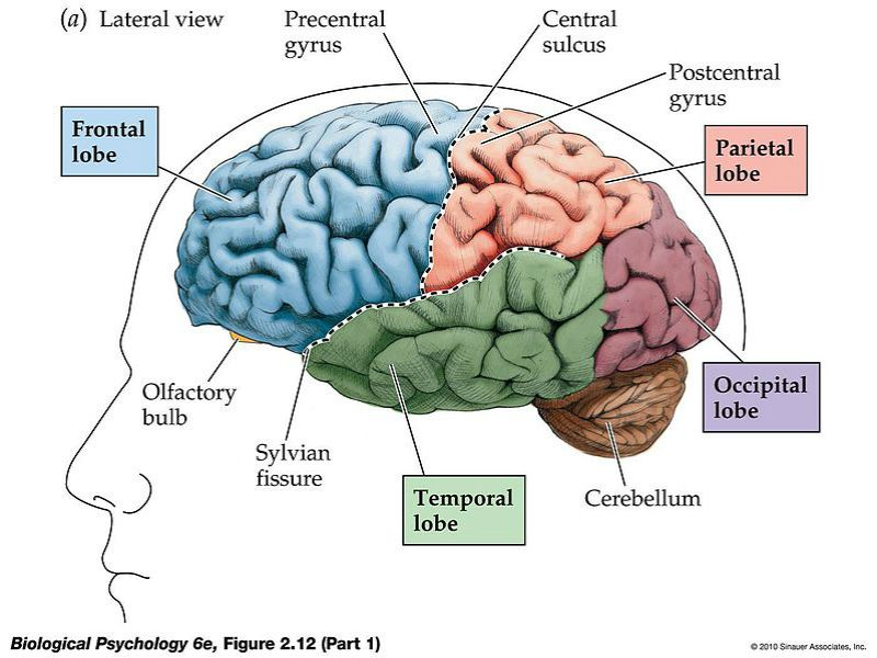 Brain Diagram Pieces - Search For Wiring Diagrams •