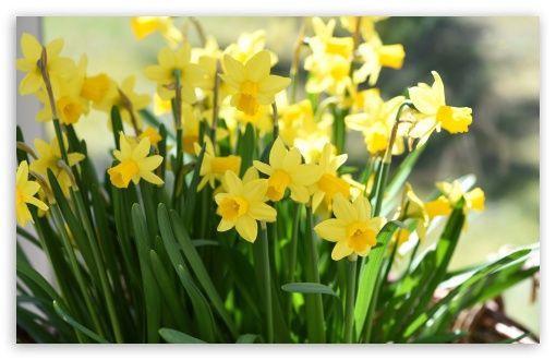 Daffodils Hd Desktop Wallpaper Widescreen High Definition Fullscreen Mobile Dual Monitor Daffodil Bulbs Spring Bulbs Garden Daffodils