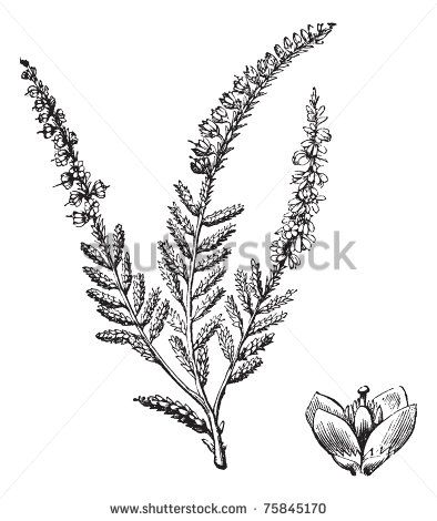 Heather Flower Tattoo Idea Heather Flower Flower Drawing Dainty Flower Tattoos