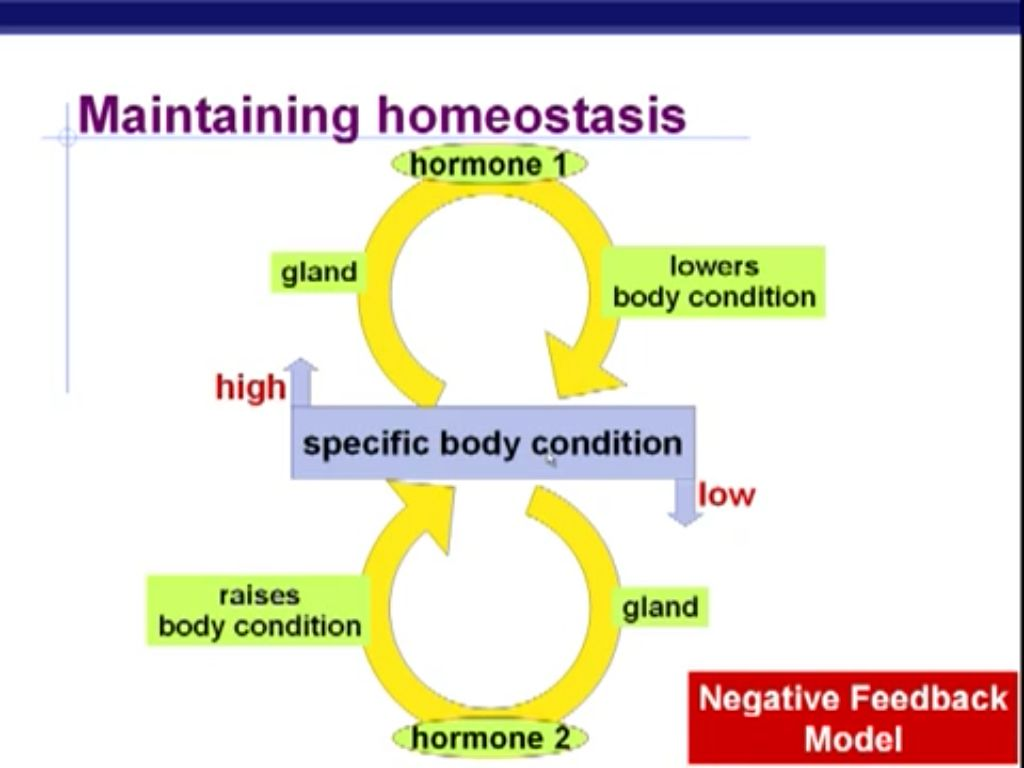 Negative Feedback Loop Homeostasis