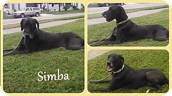 Dover Oh Great Dane Meet Simba A Dog For Adoption Http Www Adoptapet Com Pet 11551462 Dover Ohio Great Great Dane Dog Adoption Great Danes For Adoption