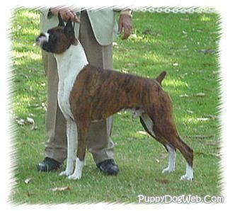 Show Dog Boxer Boxer Puppies Boxer Boxer Dog Breed