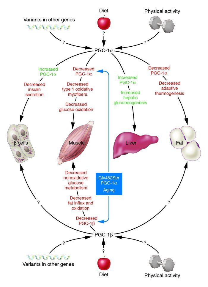 diabetes pathophysiology | diabetes mellitus type 2 ...