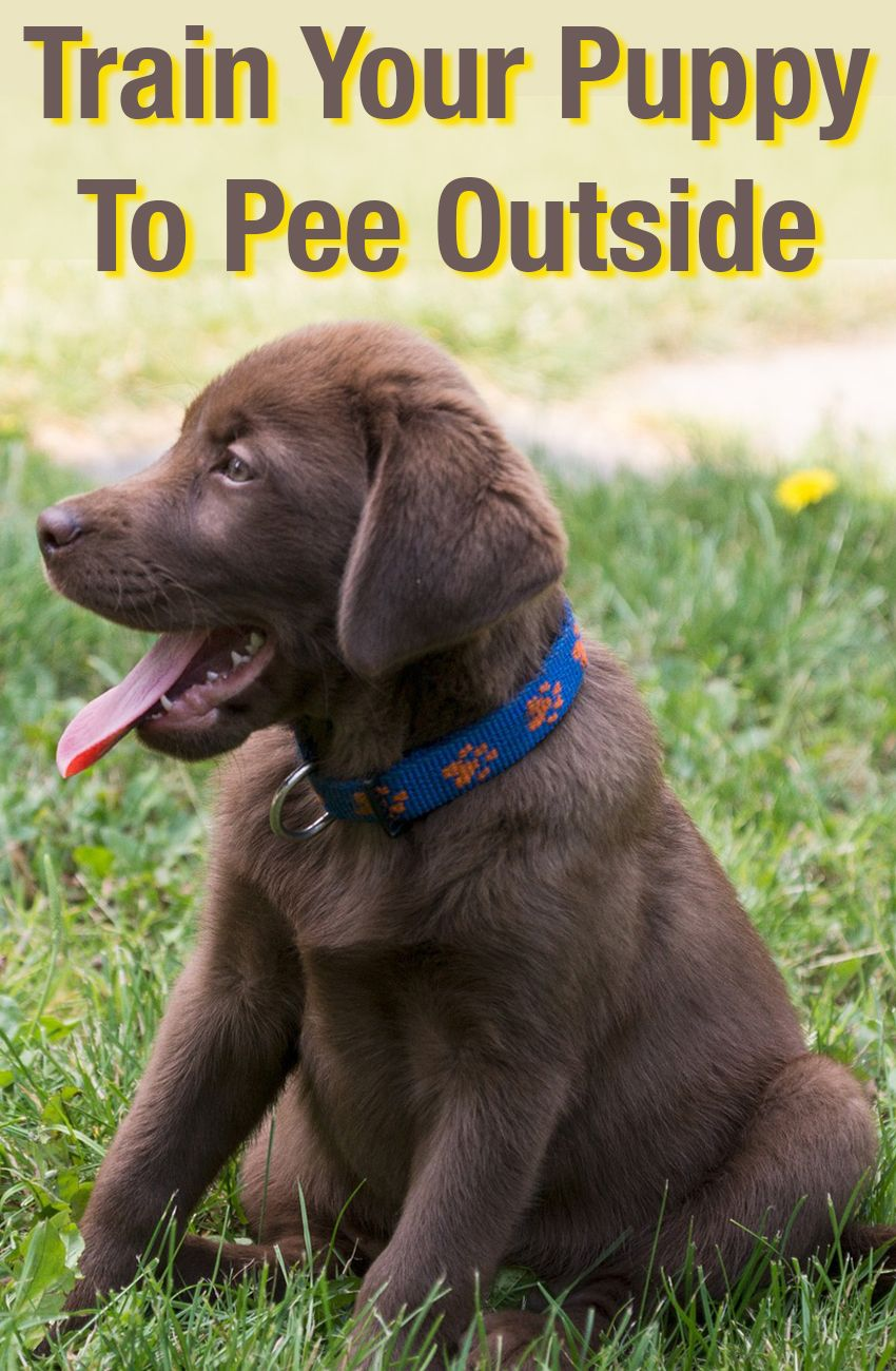 How To Train A Puppy To Pee Outside Labrador Retriever Puppy