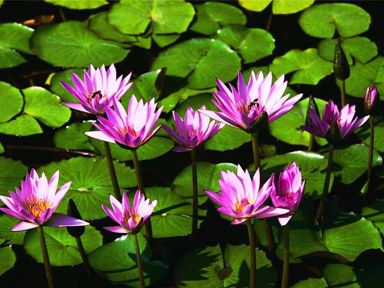 waterlilies Water lilies, Plants, Water lilly