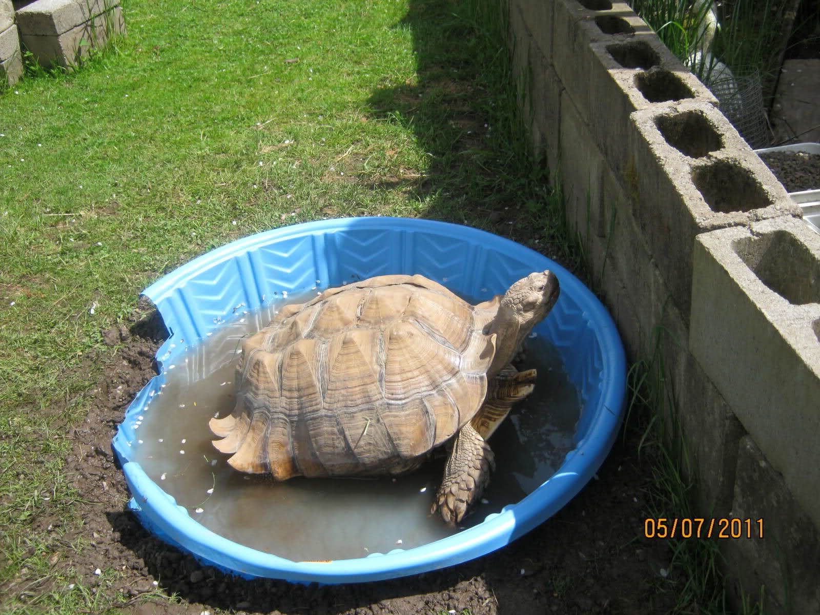 I Need To Do This For My Two Sulcies Sulcata Tortoise