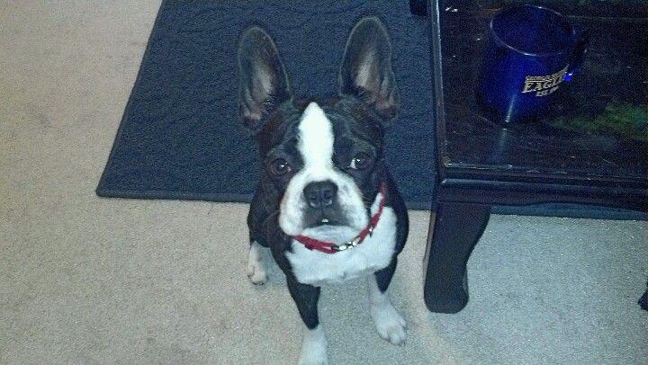 Zoe 1 Year 3 My Frenchton Boston Terrier