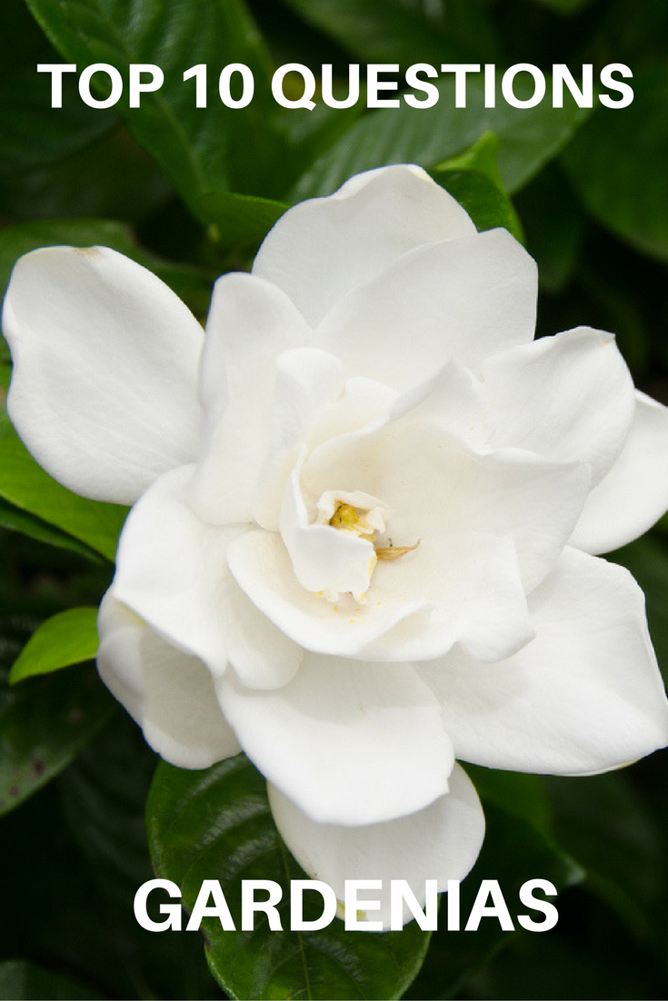 Top 10 Questions About Gardenias Gardening Know How S Blog Gardenia Plant Growing Gardenias Gardenia Trees