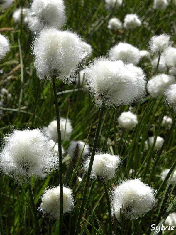 Anémone Fleur Montagne