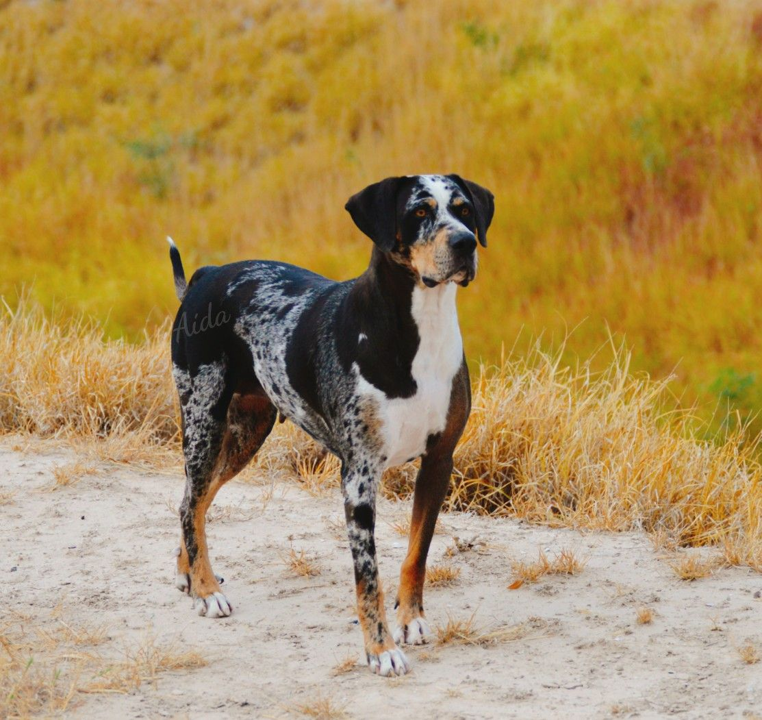 Pin On Catahoula Dogs