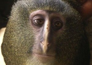 Meet Lesula, a new species of monkey found in central Africa in an unexplored forest area in Democratic Republic of Congo.