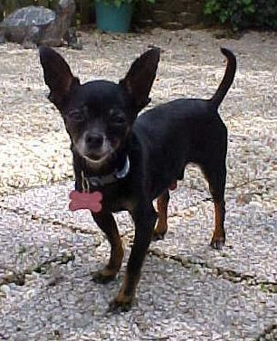 Adopt Lenny 4 Pounds On Please Help Chihuahua Dogs Small