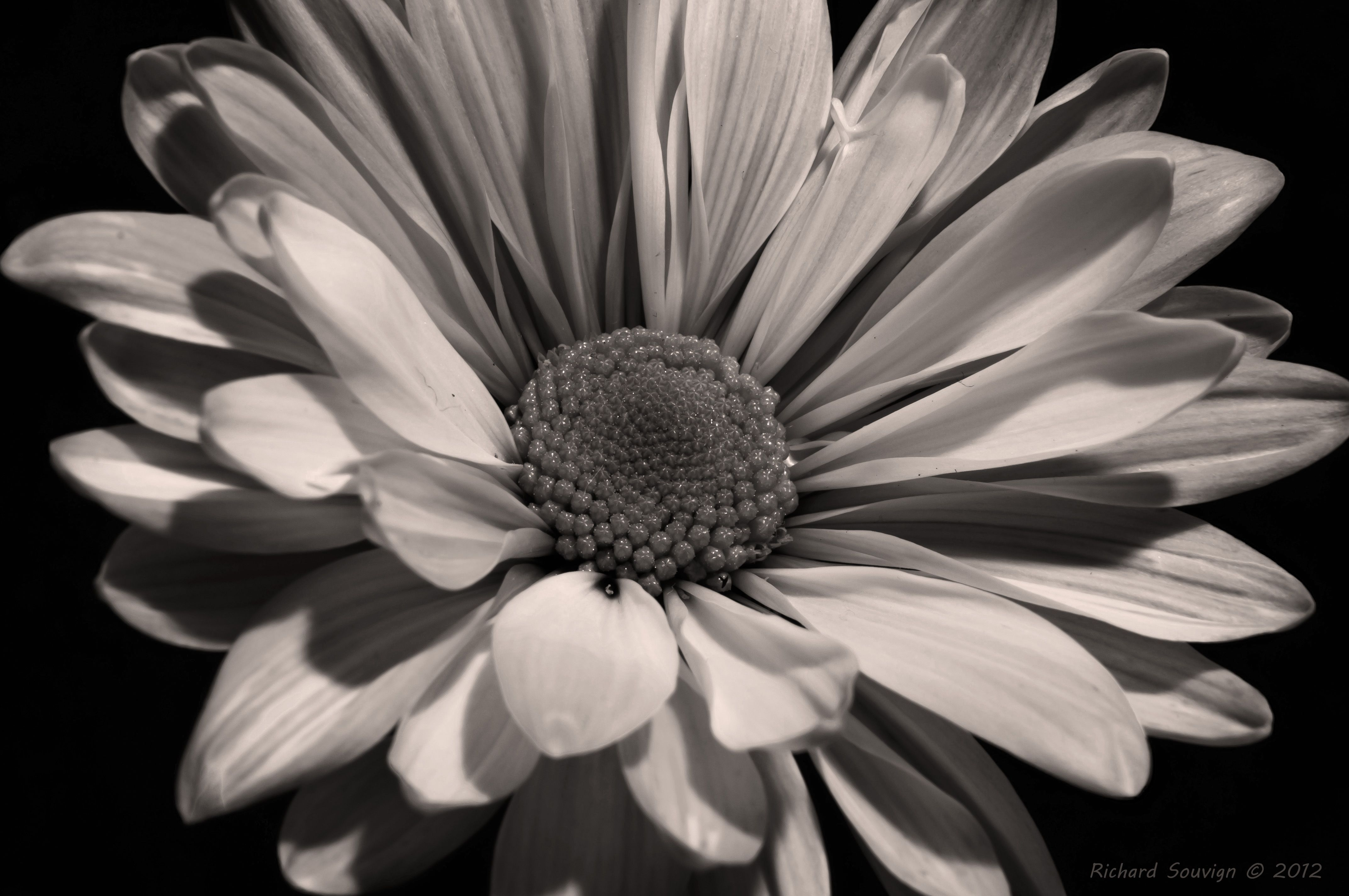 Black And White Sunflower Wallpaper White sunflowers