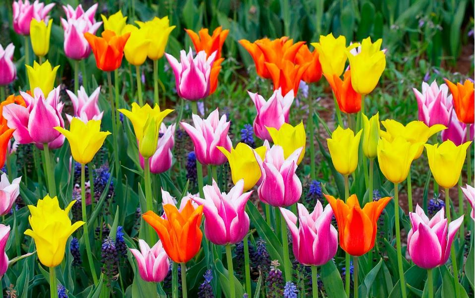 Tulip flower hd picture free download