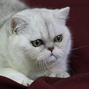 Diehl Cattery Persians and Exotic Shorthairs Homepage   shaded