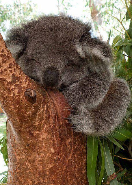 aw shucks Mr Koala