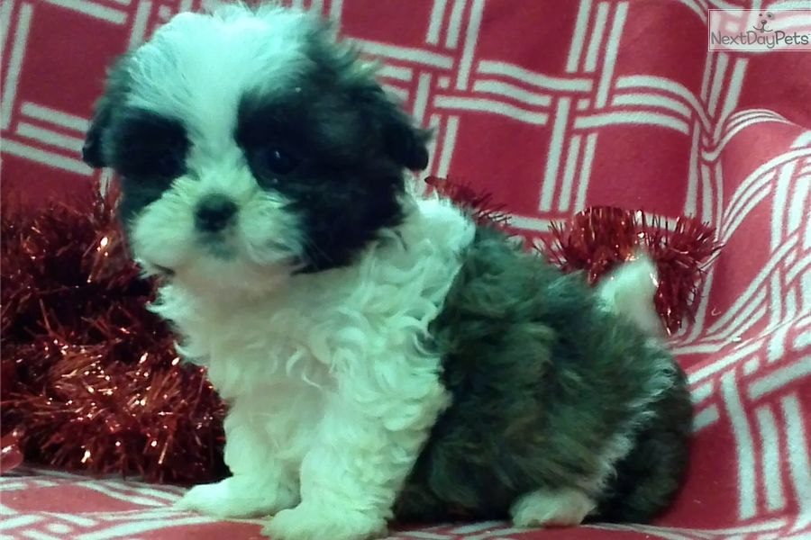 Shih Tzu Puppy For Sale Near Baltimore Maryland 5eb08a30 A141 Shih Tzu Puppy Shih Tzu Puppies