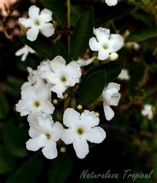 Flores blancas de la planta corona de novia duranta for Planta ornamental blanca nieves