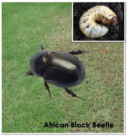 The Curse Of The Curl Grub Pest Removal Control For Adelaide