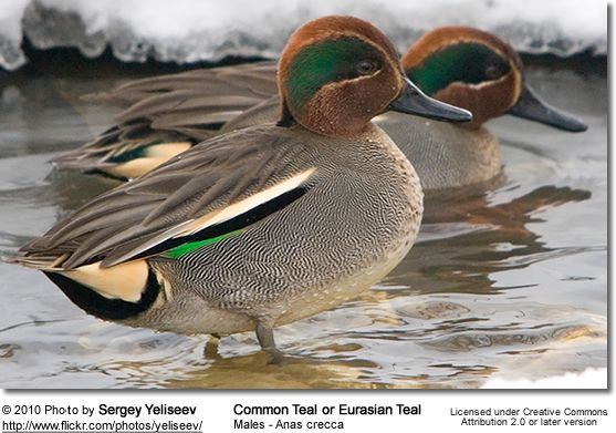 Waterfowl Common Teal Drake in nuptial plumage