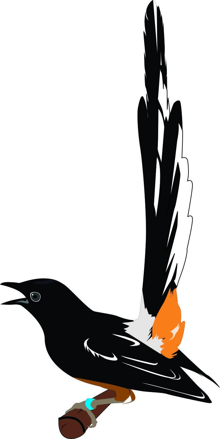 murai batu bird vector vector Pinterest Birds and Batu