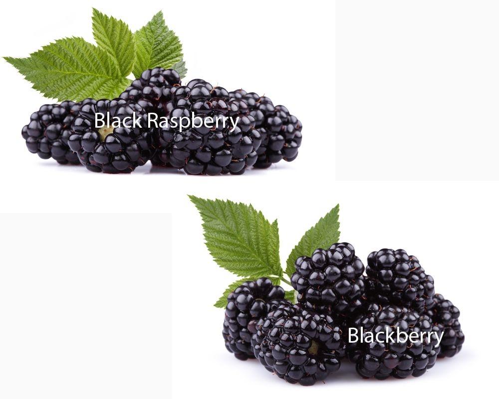 However Black Raspberry And Blackberry Are Different There Are Subtle Details That Set Them Apart Below You Can Find T Black Raspberry Raspberry Blackberry