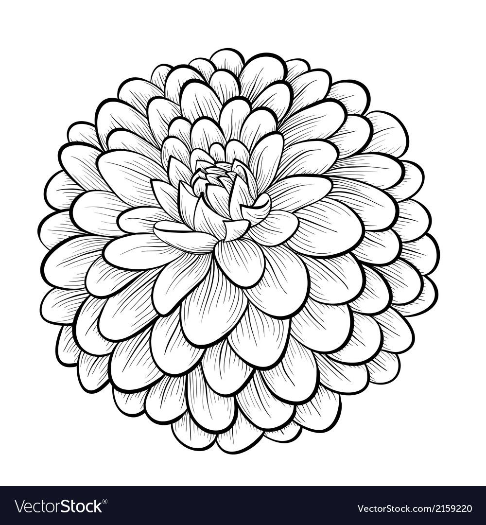 Black And White Dahlia Flower Isolated Vector Image On Vectorstock Flower Drawing Dahlia Tattoo Flower Art