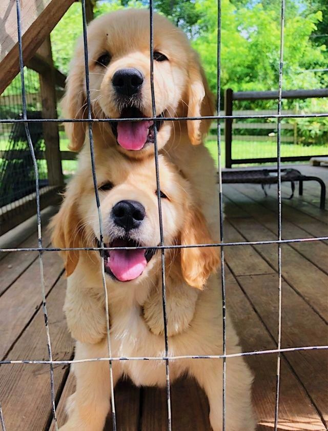 Golden Retriever Noble Loyal Companions Cute Baby Animals