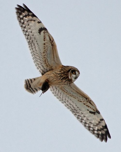 fyowls:    Short-eared Owl by Steve Gifford by Steve Gifford - IN on Flickr.