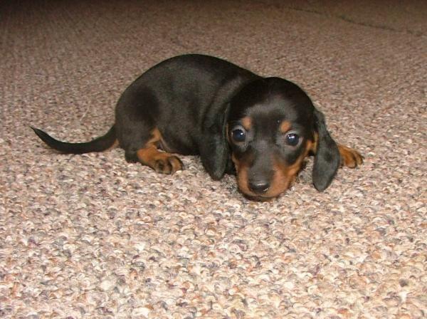 Google Image Result For Http Www Dappledachshundpuppies Com Sitebuilder Images 352 600x448 Jpg Baby Dachshund Dachshund Puppy Miniature