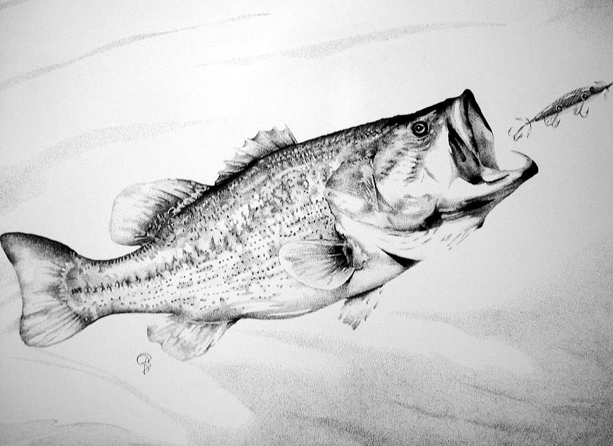 bass fish drawing in pencil wwwpixsharkcom images