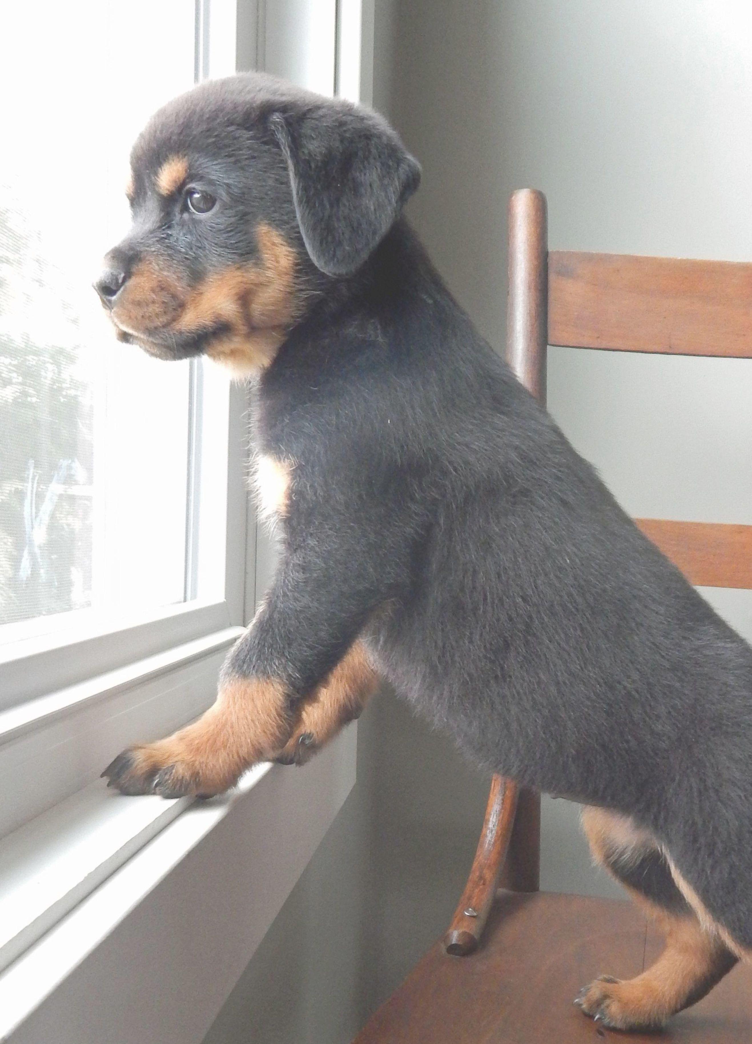 The Newest Member Of The Neighborhood Watch Program Rottweiler
