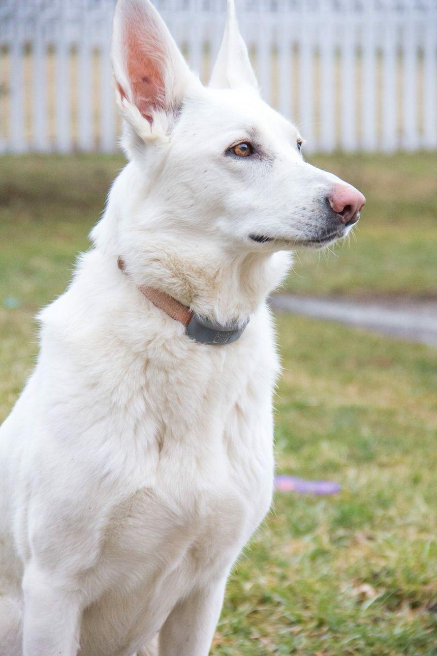 White German Shephard In 2020 Hunde Schaferhunde Weisser Schaferhund