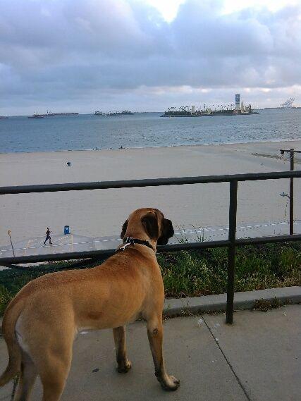 Burt, the English Mastiff views beach from the bluff.