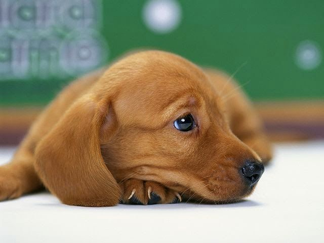 Top 5 Smallest Puppies You Have Ever Seen Dachshund Puppy