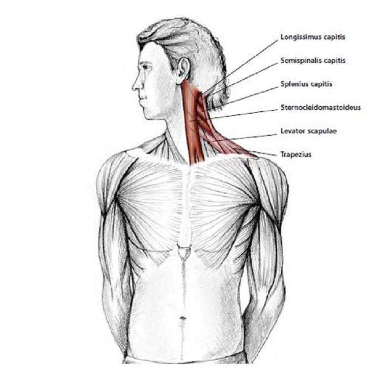 Easy Stretches - Release - Tension - Neck - Shoulders | ejercicios ...