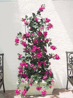 Bougainvillea Trellis 1000 Ideas About Bougainvillea Trellis On Pinterest Bougainvillea Trellis Bougainvillea Garden Vines