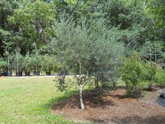 Image Result For Single Trunk Olive Tree Mediterranean Garden Landscaping Plants Olive Tree