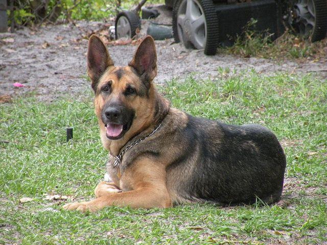Nala German Shepherd Dogs Dog Friends Dogs