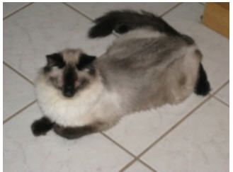 I M Cocoa A 2 1 2 Yr Old Balinese Cat Sweet And Adorable I Have A Foxy Tail And Tufty Toes I Love To Give Hugs And Hang Out W Balinese Cat Cat