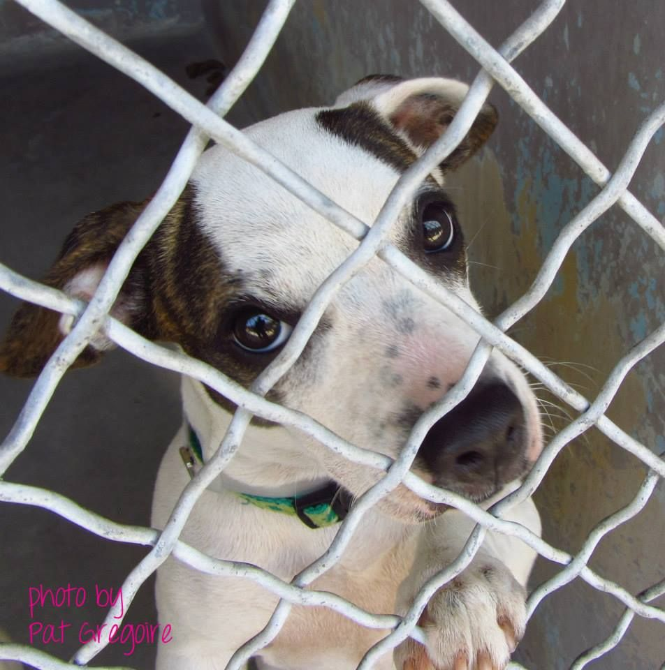 SAFE --- A4727052  my name is Mindi. I am a very friendly 5 month old spayed female white/br brindle Parson Russell Terrier mix (her paws are a little large - I see some pit in her). I came to the shelter as a stray on June 27. available 7/1/14 4275 Elton Street, Baldwin Park, California 91706 Phone 626 430 2378  https://www.facebook.com/photo.php?fbid=802539423091230set=a.705235432821630type=3theater