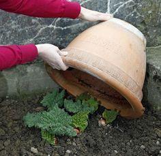 Rhabarber: Die wichtigsten Pflanztipps #kräutergartenpalette