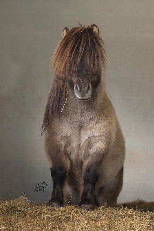 Shetland Pony stallion Univers van de Morgendster ...