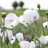 Mohn White Delight Mohn Blumen Blumen Pflanzen