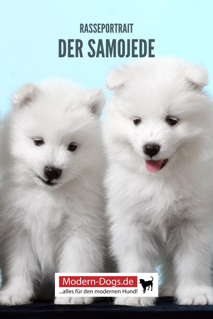 Der Samojede Im Rasseportrait In 2020 Samojede Samojede Welpe Hunde Rassen