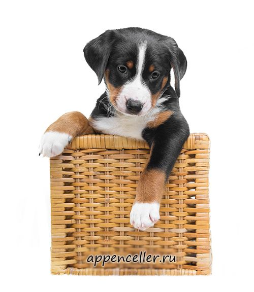 Appenzeller Mountain Dog Puppies For Sale You Can Buy A
